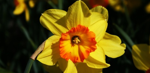 'Daffodil with Orange Center' by KaCey97007 (Creative Commons)